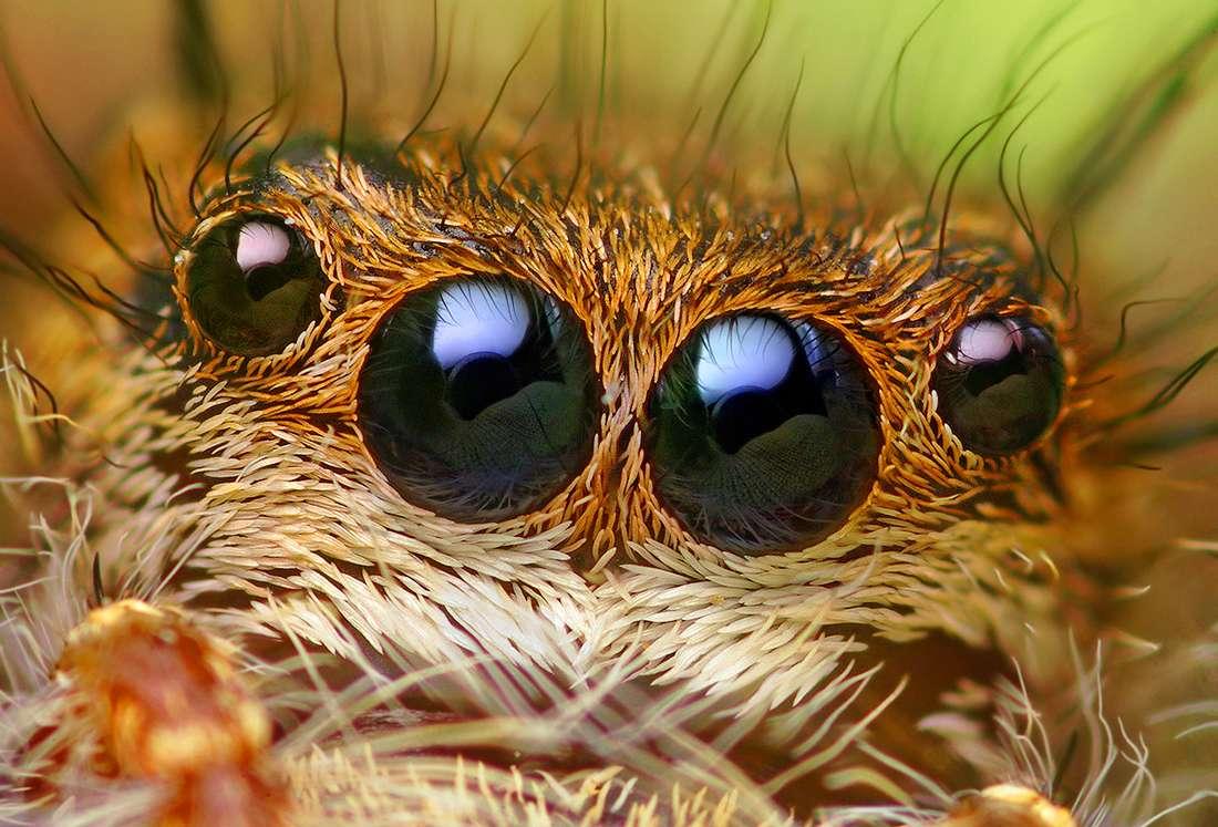La macrophotographie a le don de faire ressortir la beauté des araignées, comme ici Phidippus princeps, une araignée sauteuse d'Amérique du Nord. © Thomas Shahan, Flickr, CC By-NC-ND 2.0