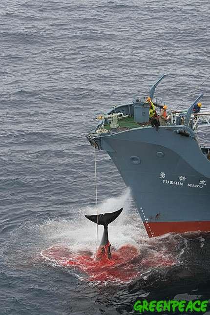 Photographié par Greenpeace en janvier 2006, le Yushin Maru vient de blesser une baleine de six tirs de harpon. Elle n'est pas morte. Il faut maintenant la noyer. © Greenpeace