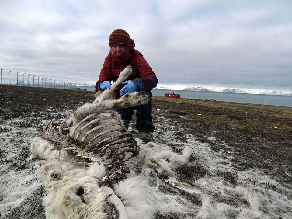 Les rennes norvégiens du Svalbard ont connu une mortalité élevée l'hiver dernier en raison du réchauffement climatique © Elin Vinje Jenssen, Norsk Polarinstitutt