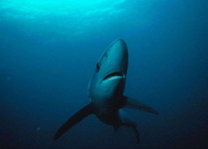 Photo d'un requin bleu. © Greg Skomal, National oceanic and Atmospheric Administration, domaine public