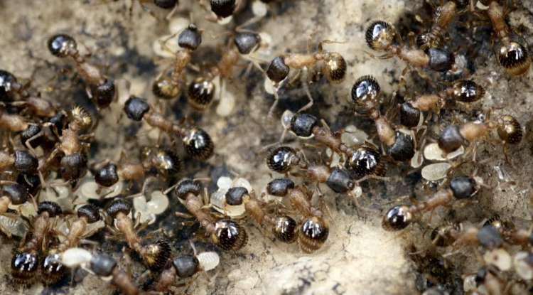 Des fourmis Temnothorax rugatulus en plein travail. Mais à y regarder de plus près, beaucoup ne font que se promener. © Daniel Charbonneau