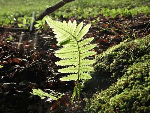Fronde chlorophyllienne d'une fougère, support de sa photoautotrophie. © Zigar CC by-nd
