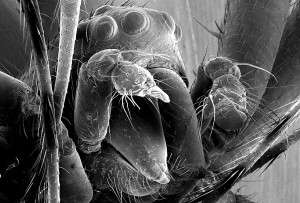 Cette photographie prise au microscope à balayage montre la tête d'une néphile, Nephilengys malabarensi. Les yeux et les chélicères (structures entourant la bouche) sont visibles, de même que les pédipalpes dont les extrémités sont cassées. Le pédipalpe droit correspond à la structure blanchâtre au centre de l'image. © Matjaž Kuntner