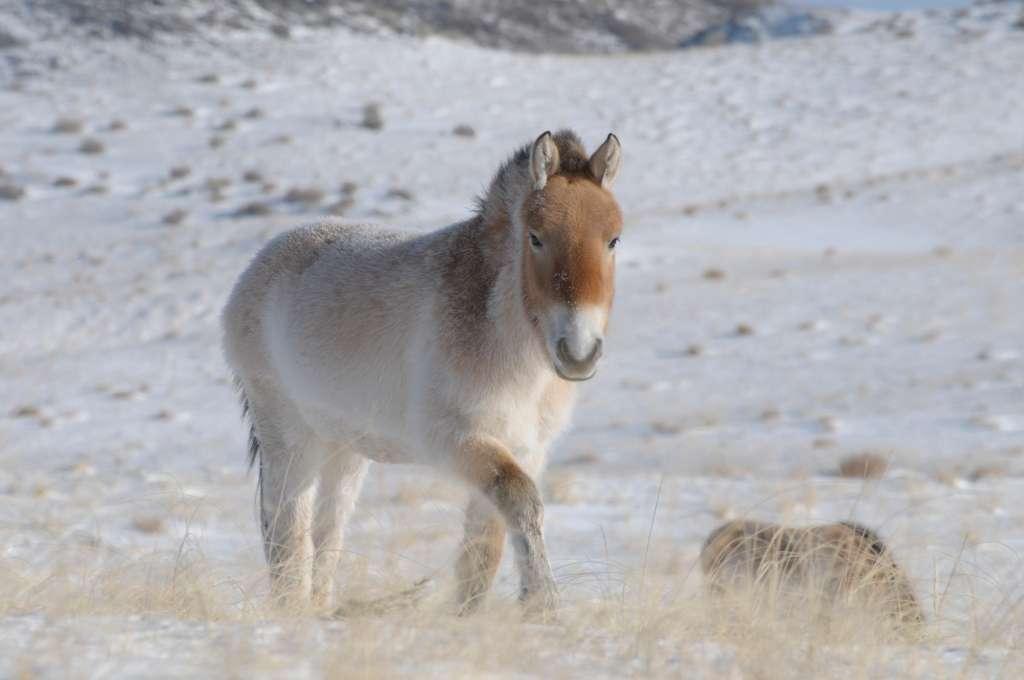 Ce cheval de Przewalski a été photographié en janvier 2010 à Khomyntal, dans l'ouest de la Mongolie, sur l'une des trois zones de réintroduction. La température peut y descendre jusqu'à -47 °C. Cet équidé est arrivé sur place en 2004. Il était auparavant élevé au Villaret (France), par l'Association pour le cheval de Przewalski. © Claudia Feh, Association pour le cheval de Przewalski: TAKH