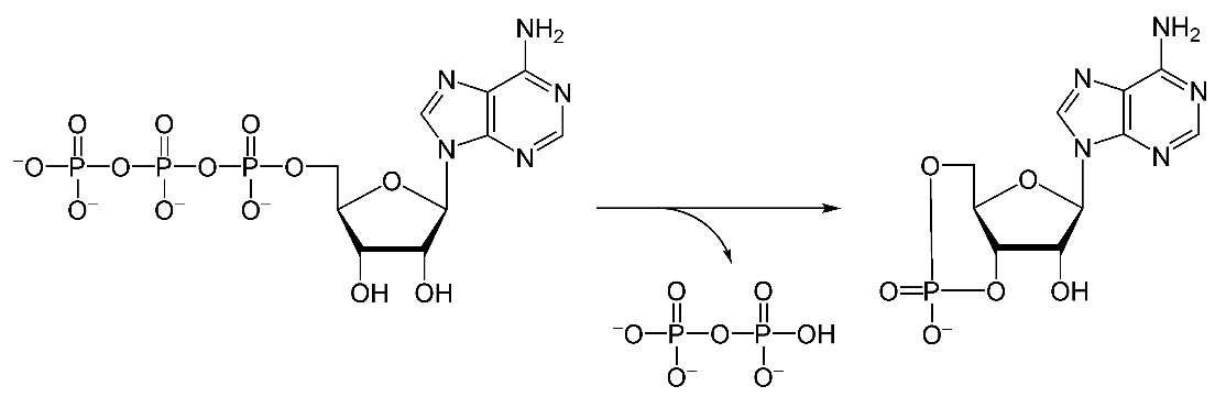 L'adénylate cyclase, qui forme l'AMP cyclique à partir d'ATP, est une lyase. © Yikrazuul, Wikimedia, domaine public