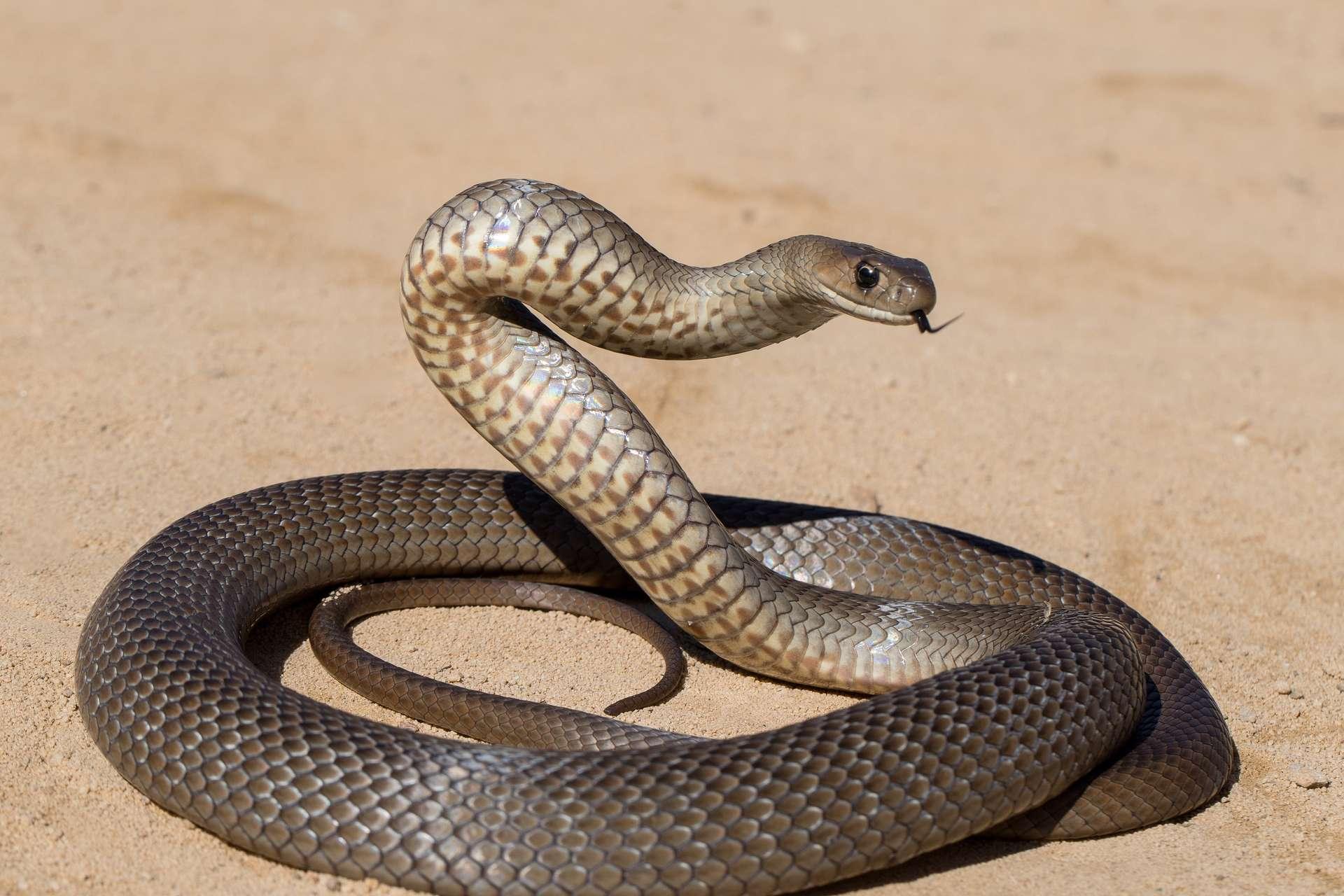 Les adultes de l'espèce Pseudonaja textilis peuvent atteindre 2m de long ! © Ken, Adobe Stock