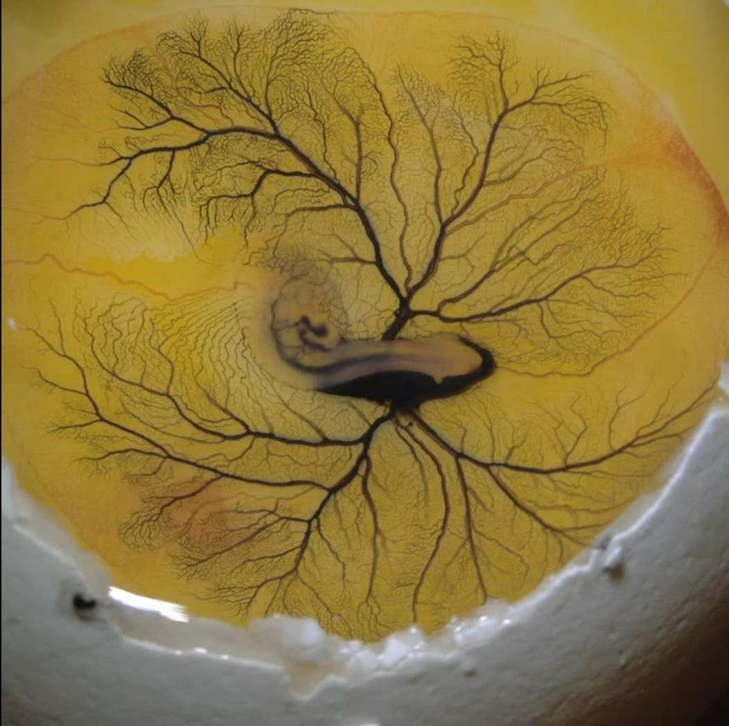 Le système circulatoire de cet embryon de poule a été mis en évidence en injectant de l'encre dans l'artère vitelline extraembryonnaire. Cette opération est délicate. Il ne faut ni blesser l'animal, ni injecter trop d'encre. Et surtout, il faut bien viser ! © Anna Franz