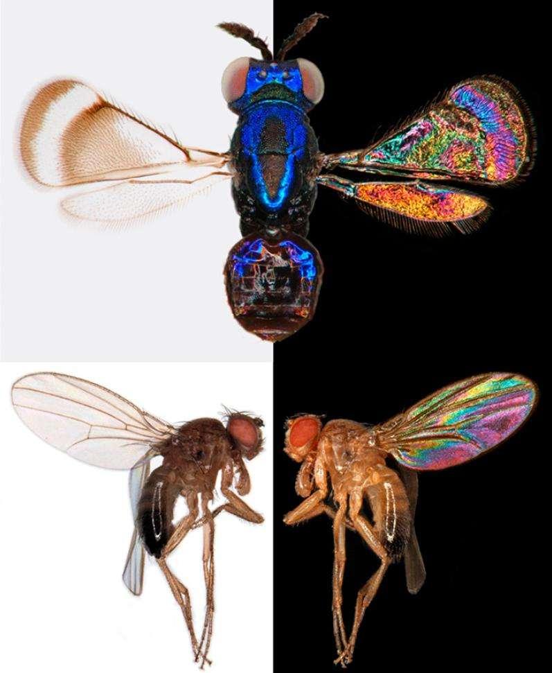 Les couleurs visibles par interférence sur les ailes des insectes seraient utiles à ces animaux qui ont une vision trichomatique dans l'ultraviolet, le bleu et le vert. © Pnas