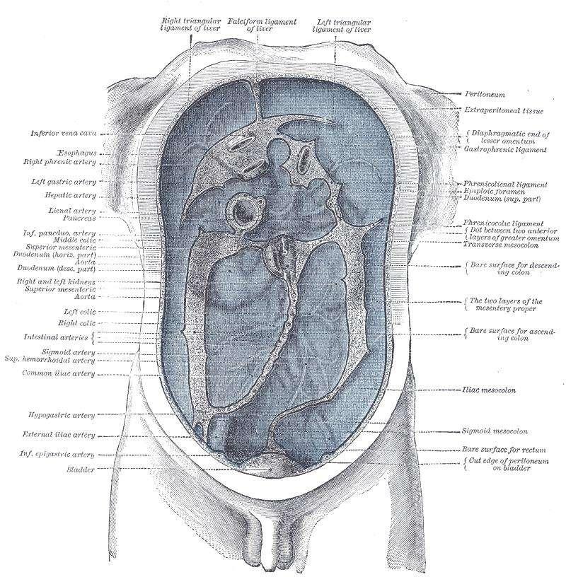 Le péritoine correspond à toute cette partie bleutée. Une infection généralisée s'attaque alors à tout l'abdomen, c'est ce qu'on appelle la péritonite. © Henry Gray, Wikipédia, DP