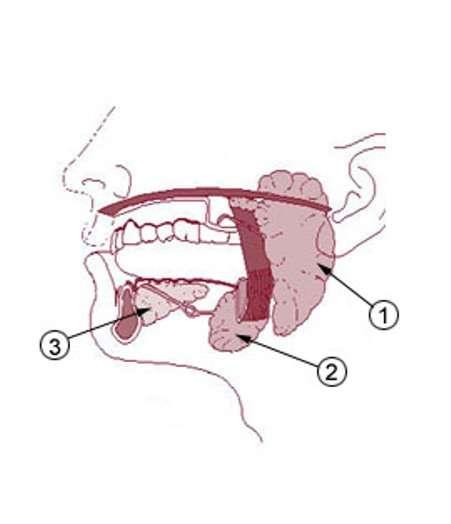 La salive est produite par trois glandes différentes : parotides (1), sous-maxillaires (2) et sublinguales (3). La xérostomie apparaît lorsque ces glandes ne sont plus assez productives. © US administration, DP