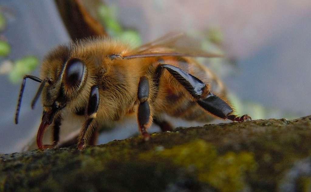 Plus de 1.000 espèces d'abeilles sont recensées en France. Certaines sont solitaires, d'autres sociales. © Quisnovus, Flickr, cc by nc 2.0