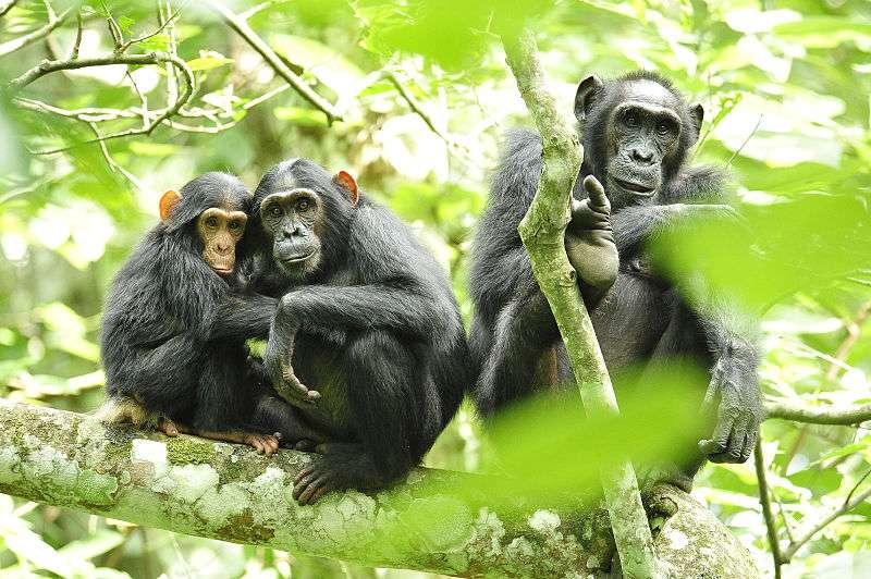 Chez les mâles, les cellules sexuelles produisant les spermatozoïdes se divisent toute la vie et accumulent les mutations. Cette règle vaut pour les humains et pour les chimpanzés mais elle s'applique différemment chez ces deux espèces, pourtant proches. © USAID Africa Bureau, Wikimedia Commons, DP