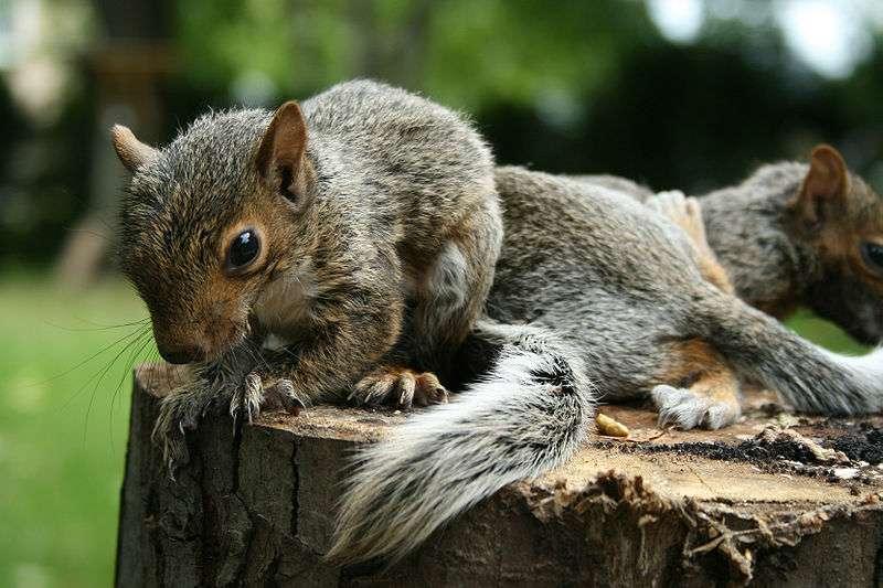 Jeunes écureuils gris originaires d'Amérique du Nord et introduits au début du XXème siècle en Angleterre. Depuis 1990, ils causent de sérieux problèmes environnementaux dans certaines régions d'Europe © Luxboyer CC by-sa