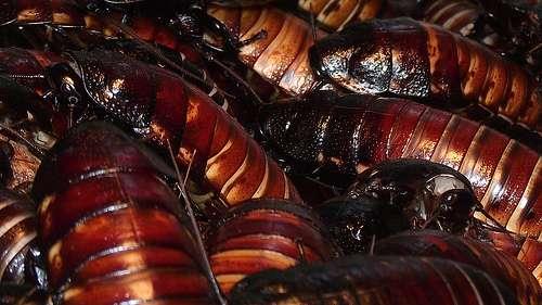La plupart des blattes sont grégaires. © Zoomy Photography, Flickr, cc by nc 2.0