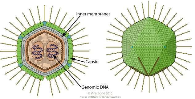 Le Mamavirus appartient à la famille des Mimivirus. © ViralZone