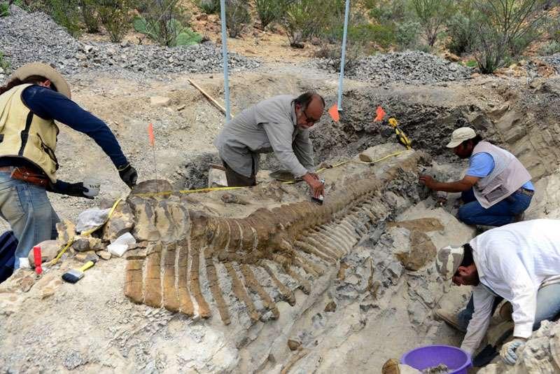 Les paléontologues de l'Institut national mexicain d'anthropologie et d'histoire (Inah) et de l'université autonome nationale de Mexico (Unam) nettoient méticuleusement les vertèbres de la queue de l'hadrosaure découverte dans la région de Coahuila. © Inah