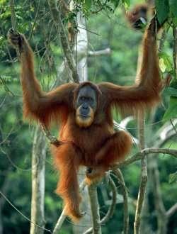L'orang-outan de Sumatra est victime du défrichage des forêts. Il pourrait avoir complètement disparu en 2020, d'après l'institut Jane Goodall. © Anup Shah / naturepl.com / ARKive.