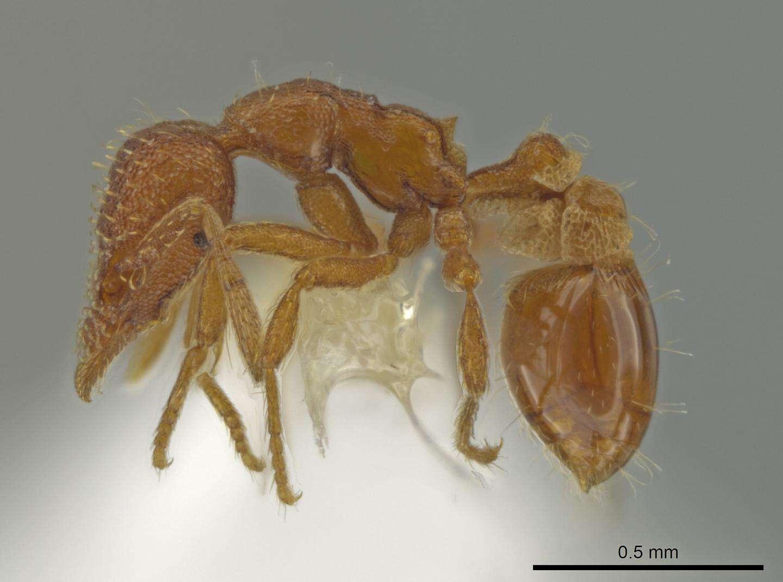 L'espèce de fourmis Strumigenys Ananeotes a été découverte par un entomologiste américain au fond de son jardin.