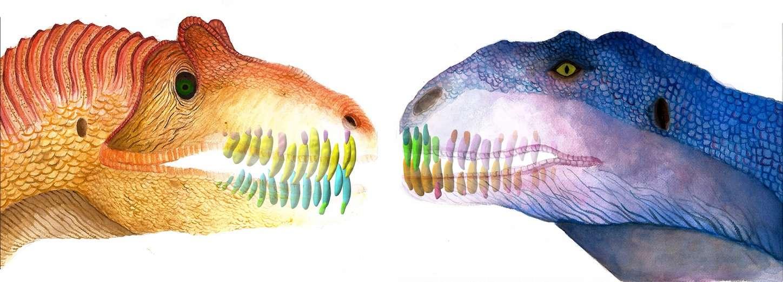 Les chercheurs ont comparé la dentition de plusieurs espèces de dinosaures, dont l'allosaure (à gauche) et Majungasaurus (à droite), au taux de renouvellement élevé. © Sae Bom Ra