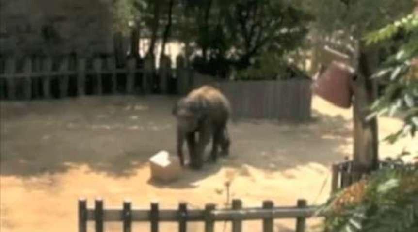 Un éléphant d'Asie résout un problème