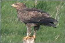 Aigle pomarin (Aquila pomarina) sub-adulte, environs de Bulle, Doubs (25), France. le 22/09/2003.