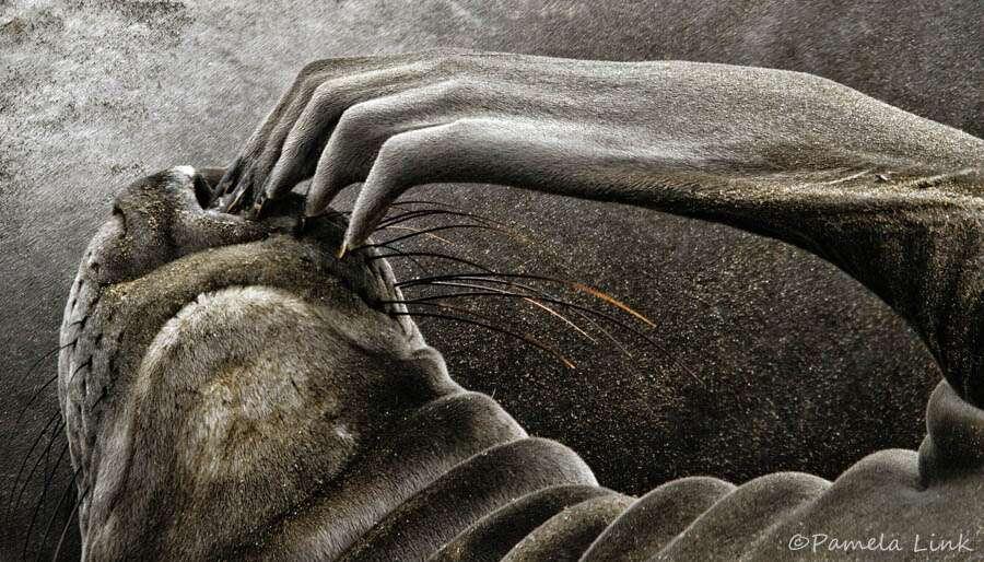 Image d'un phoque se grattant le visage. Le nombre de récepteurs sensoriels varie d'un endroit à l'autre du corps. Le visage et les extrémités en sont particulièrement pourvus. © PamLink, Flickr, cc by nc 2.0