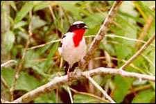 Tangara rouge-gorge (Nemosia rourei)