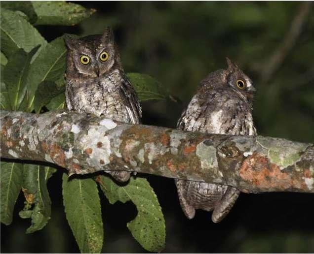 Ces petits-ducs Rinjani (Otus jolandae) ont été photographiés en 2008 par Philippe Verbelen sur l'île indonésienne de Lombok. Les Otus apprécient en général les paysages semi-ouverts possédant de vieux arbres pourvus de cavités. © Sangster et al., 2013, Plos One