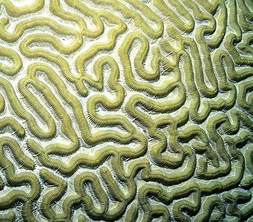Le corail Cerveau (Diplora strigosa). © Laszlo-photo CC-by