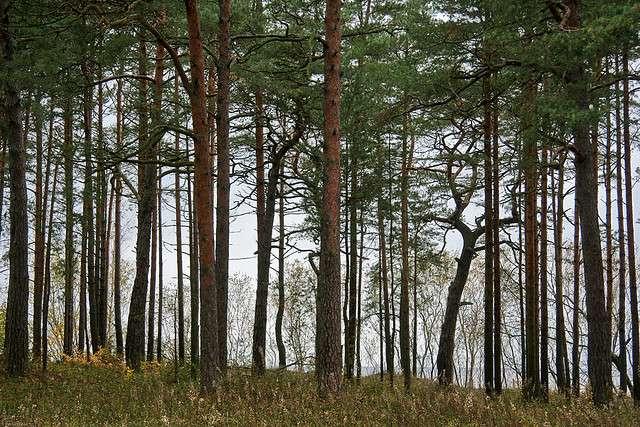 La forêt de pins du département des Landes, en France, est un exemple de forêt tempérée sempervirente. © Patrick Mayon CC by-nc-nd 2.0
