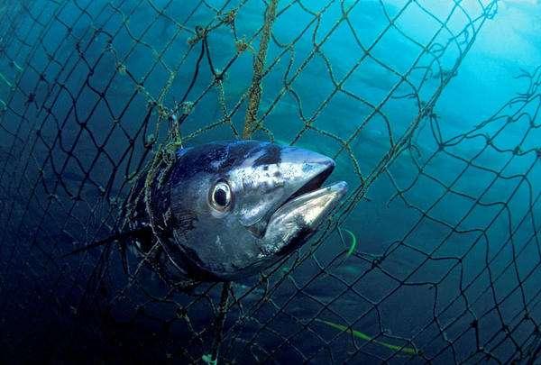 Selon le WWF, 18.000 t de thons rouges auraient été pêchées illégalement entre 2000 et 2010. © naturepl.com, David Fleetham, WWF-Canon