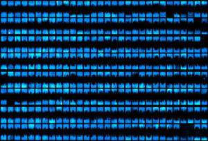 Les puces produites actuellement sont composées d'au minimum 500 colonies bactériennes ou biopixels pouvant toutes clignoter en même temps. Le rôle de la puce est de synchroniser le comportement de toutes les colonies entre elles. © Université de Californie, San Diego