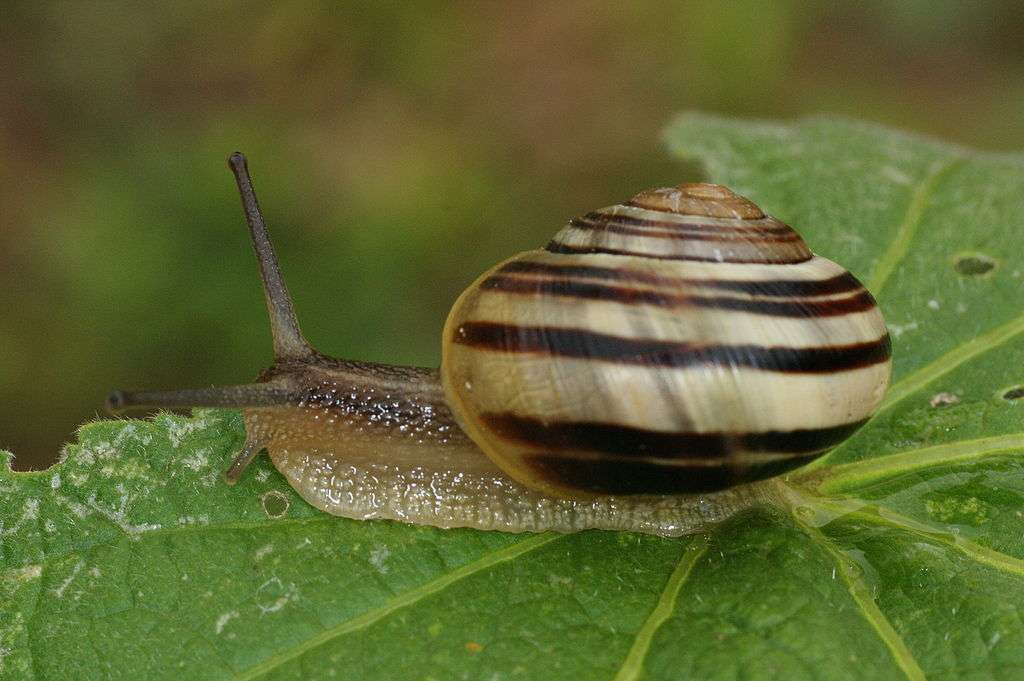 Les escargots comptent parmi les espèces les plus célèbres et les plus emblématiques des gastéropodes, ces mollusques à l'estomac dans le pied. © THWZ, Wikipédia, cc by sa 3.0