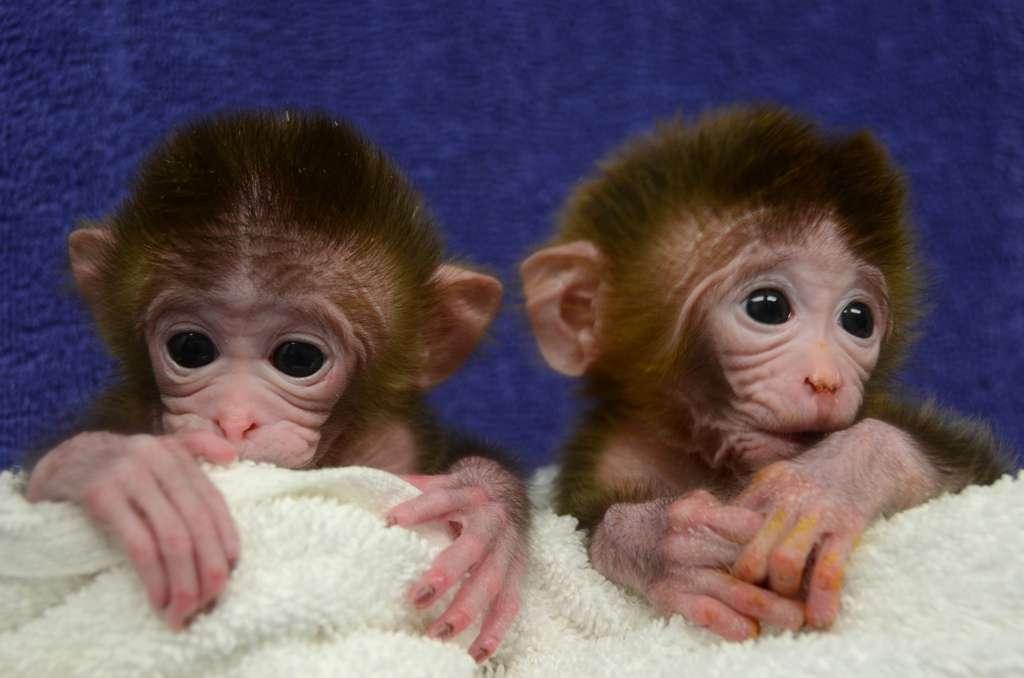 Roku et Hex : deux macaques rhésus chimériques, dont l'ADN provient de six lignées embryonnaires différentes, nés en 2011 à l'université d'Oregon. Les jumeaux sont photographiés ici peu après leur naissance. © OHSU