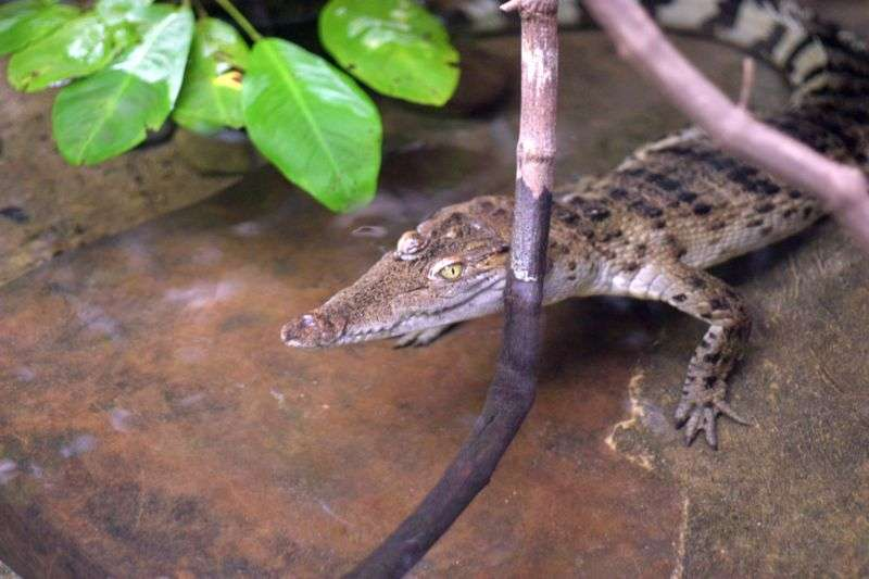 Photo d'un crocodile des Philippines. © Scott Sandars, Creative Commons Attribution 2.0 Generic