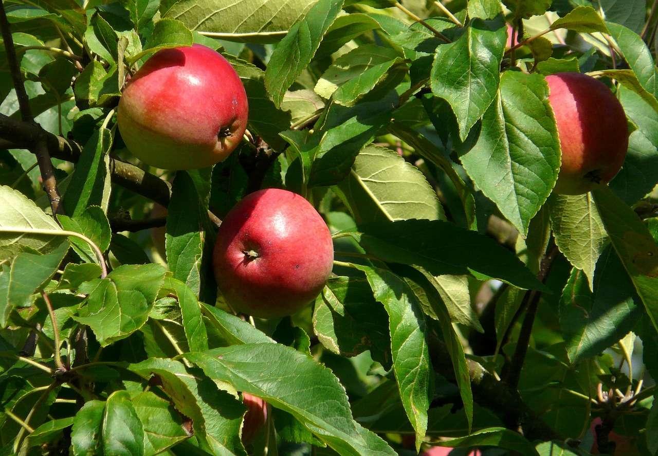 Dans les fruits se cachent les graines, caractéristiques des spermatophytes, utiles à la germination d'une nouvelle pousse. © June66, pixabay.com, DP