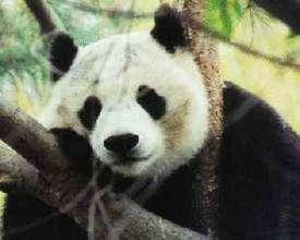 Si une envie vous prend de vous déguiser en panda, vous pourrez toujours dire que c'est pour les sauver. © www.msu.edu