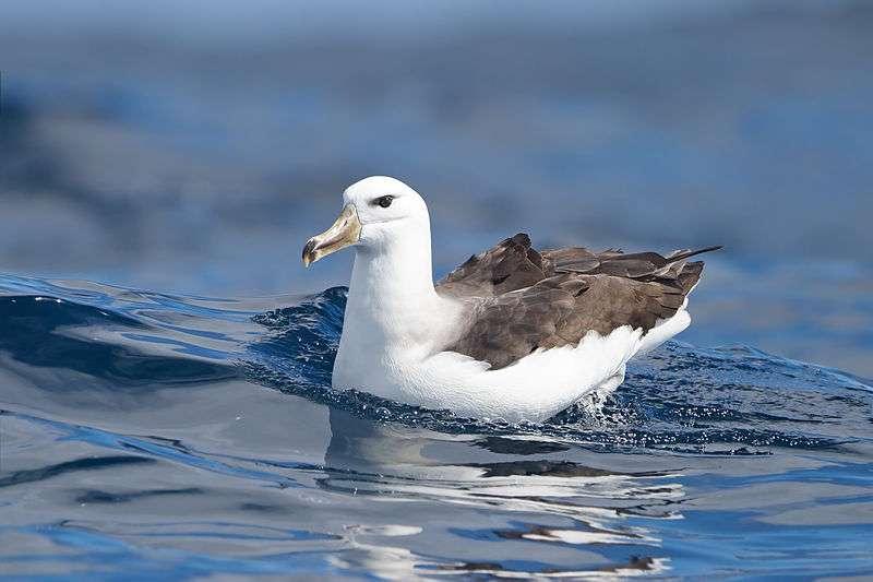 Photo d'un albatros à sourcil noir. © J.-J. Harrison, CC-by-SA 3.0
