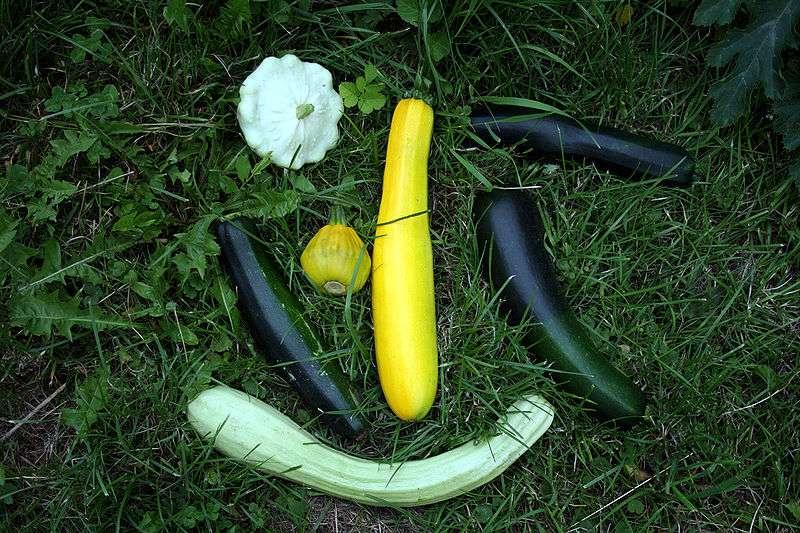 Les variétés de courgettes ont des apparences très différentes. © DR