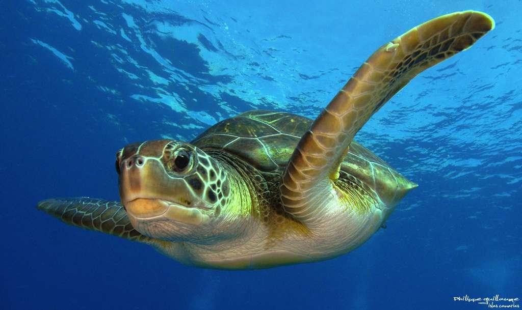 Le sanctuaire Kermadec, près de la Nouvelle-Zélande, abrite de nombreuses espèces marines comme cette tortue verte. © Philippe Guillaume, Flickr, CC by-nc 2.0