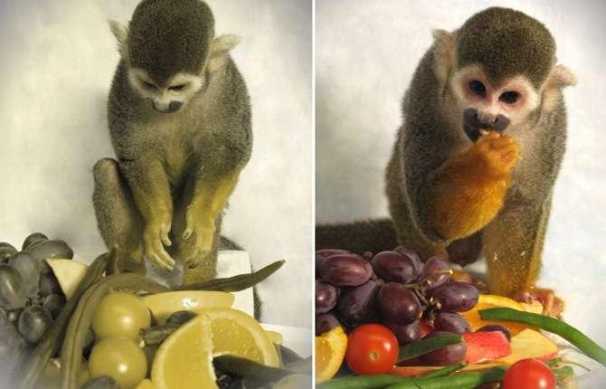 Un succulent repas, tellement plus appétissant lorsqu'il est vu en couleurs (à droite) que lorsqu'il apparaît comme le perçoivent les singes-écureuils mâles (à gauche). © Neitz Laboratory
