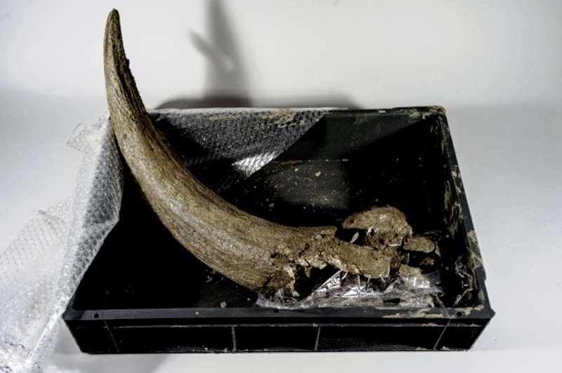 Une corne de bison. Elle provient d'un animal qui a probablement été mangé par des néandertaliens voici plusieurs dizaine de milliers d'années. © Henri Granjean, collectif item, Inrap