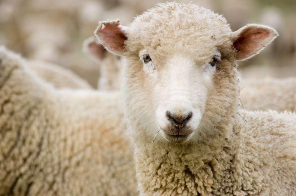 Un mouton Mérinos chargé de participer à la restauration de la végétation du cossoul. © Lee Torrens/shutterstock.com