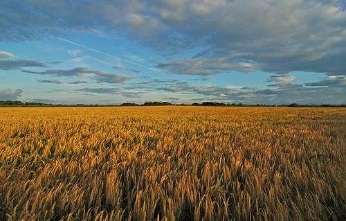 Le maïs génétiquement modifié pour produire son propre insecticide pousse déjà un peu partout dans le monde. © jimmedia / Flickr - Licence Creative Common (by-nc-sa 2.0)