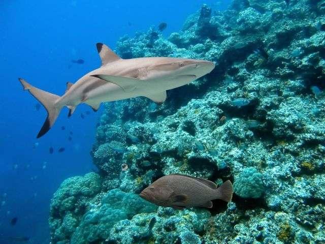 Les requins à pointes noires vivent à proximité des côtes. Ils ont la faculté de bronzer pour se protéger du soleil. © Ian Scott, shutterstock.com