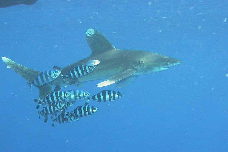 Photo d'un requin longimane. © peter-koelbl.de, CCA-SA 2.5 Generic license