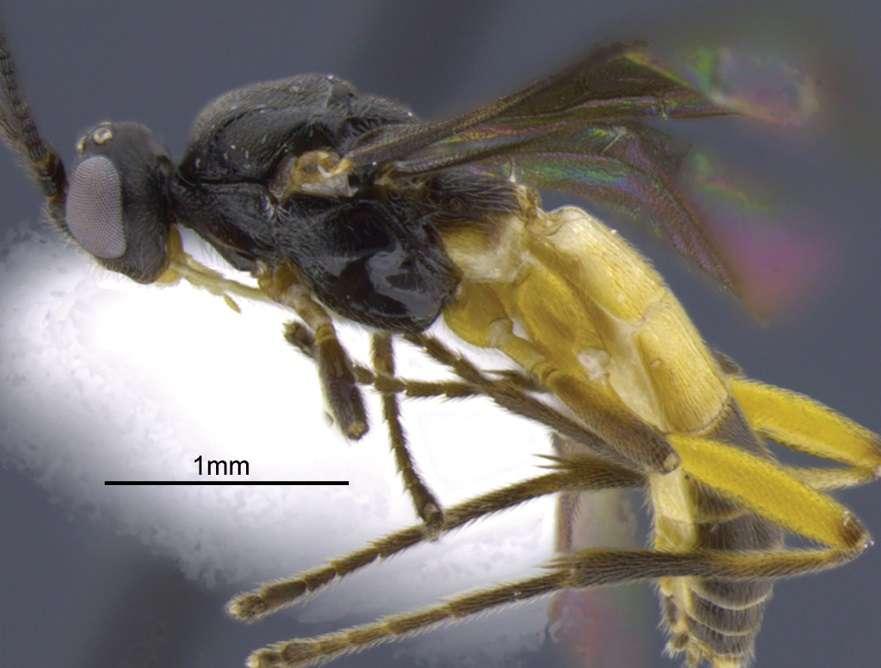 La guêpe Aleiodes yanayacu porte le nom de la station biologique au cœur de ces travaux de recherche. © Shimbori, Shaw, ZooKeys, 2014, cc by 4.0