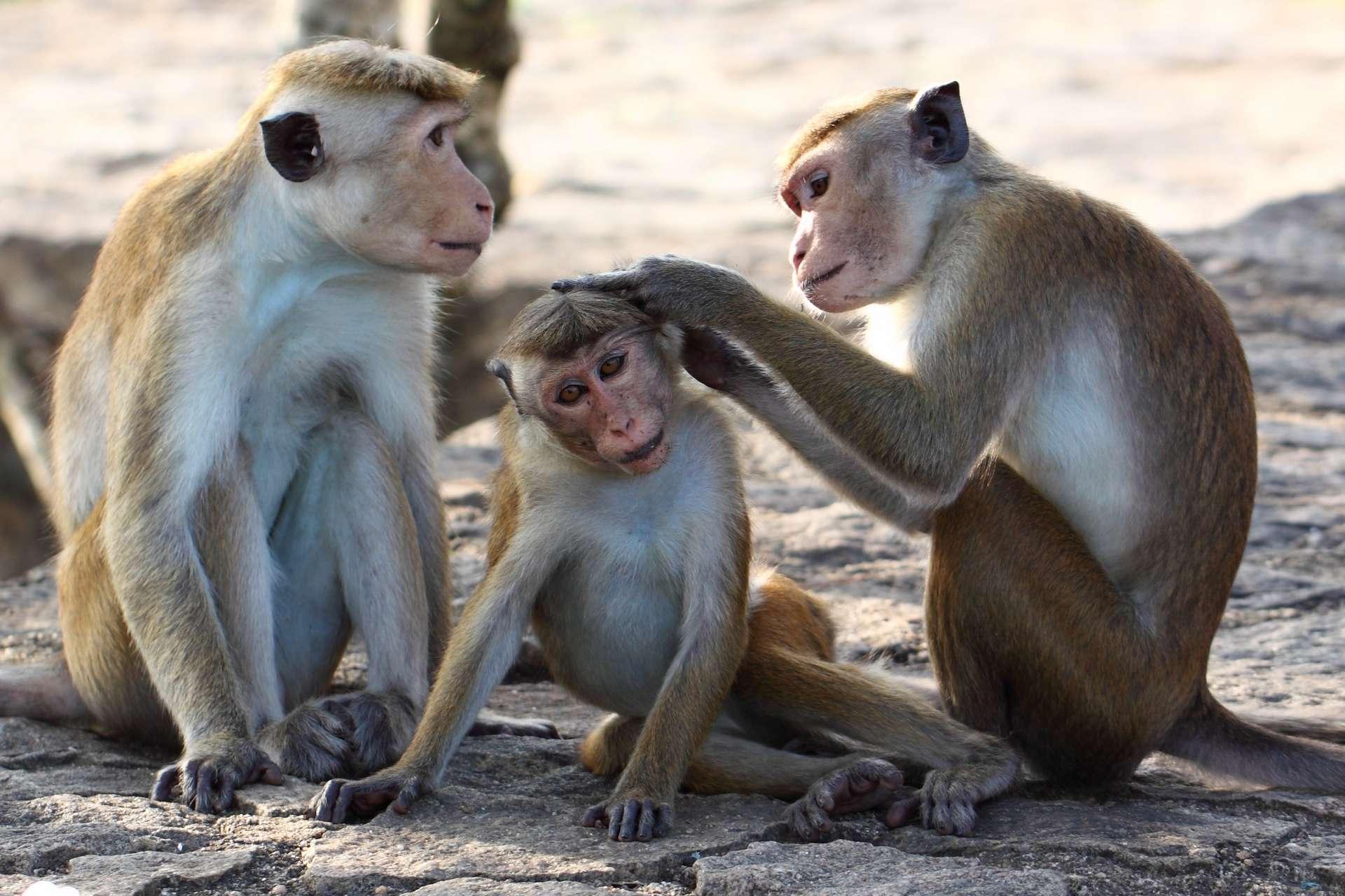 Les singes rhésus, Macaca mulatta, mesurent aux alentours de 60 centimètres de long et vivent en Asie. © Leochen66, Adobe Stock