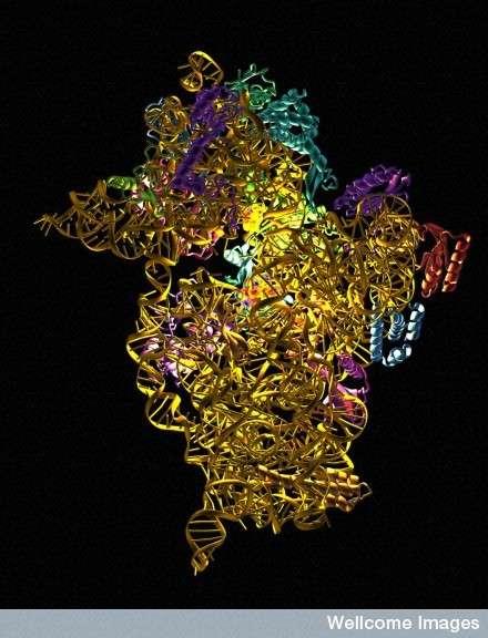 La compréhension de la structure du ribosome permet de mieux connaître les effets des antibiotiques lorsqu'ils se fixent à lui. © Wellcome Images, Flickr, CC by-nc-nd 2.0