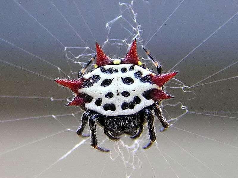 Les araignées adoptent parfois des formes et des coloris étranges. Ici, Gasteracantha cancriformis. © Mkullen, Wikipédia, DP